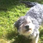 Har du sett hunden Milou?